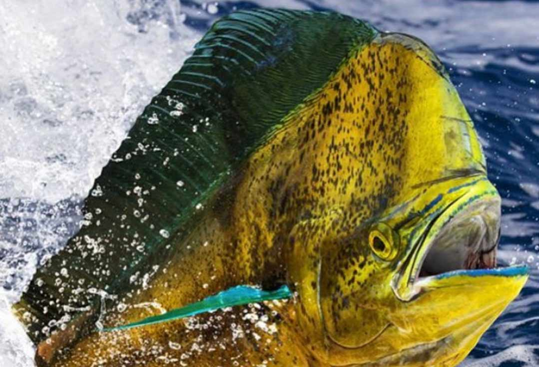 A dorado surfaces during a Key West Deep Sea Fishing Trip