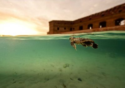 A baby turtle swims at the Dry Tortugas