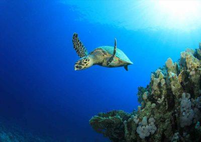 Turtles swim by the Key West Glass Bottom Boat