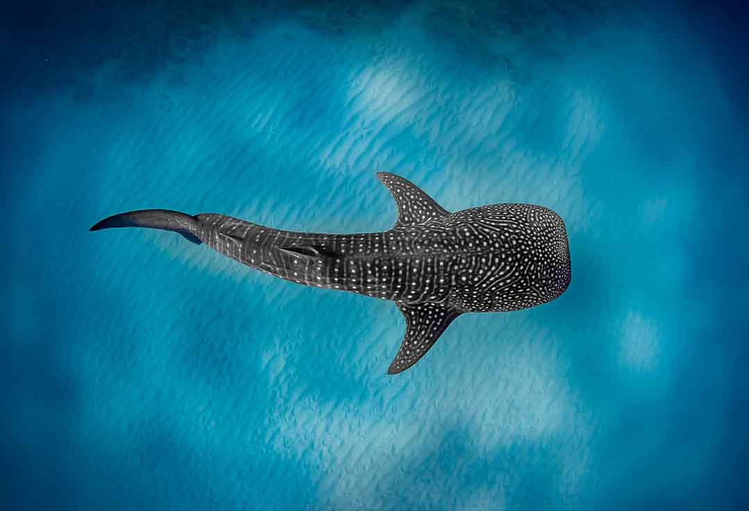 A whale shark is observed from the Key West Glass Bottom Boat