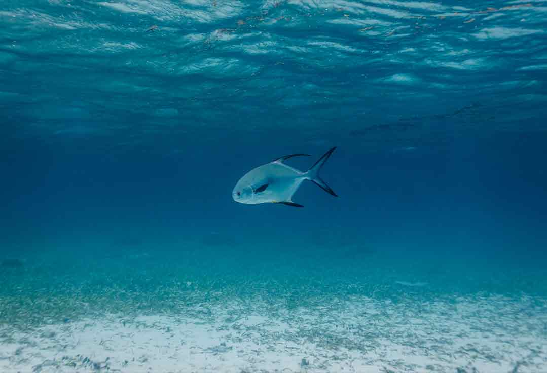 permit swim during key west flats fishing charters