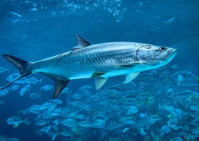 Tarpons swims with key west flats fishing