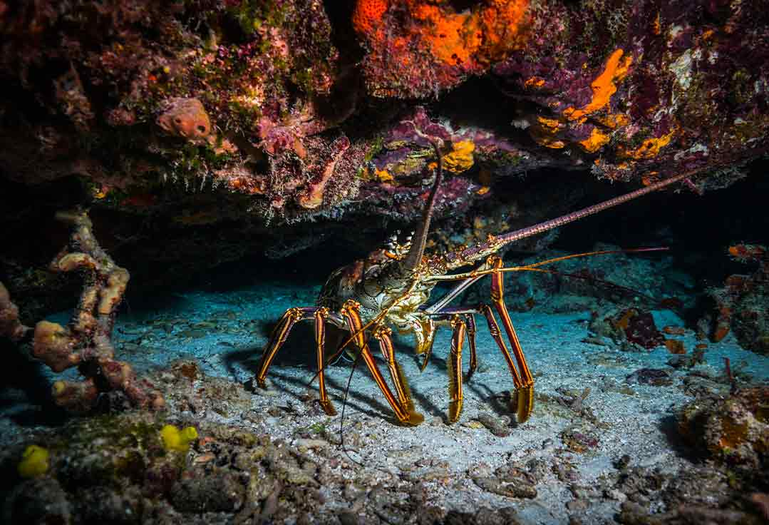 Lobsters hide under rocks with Key West Lobstering Charters