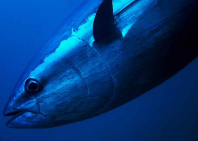 A tuna swims with Key West Spearfishing